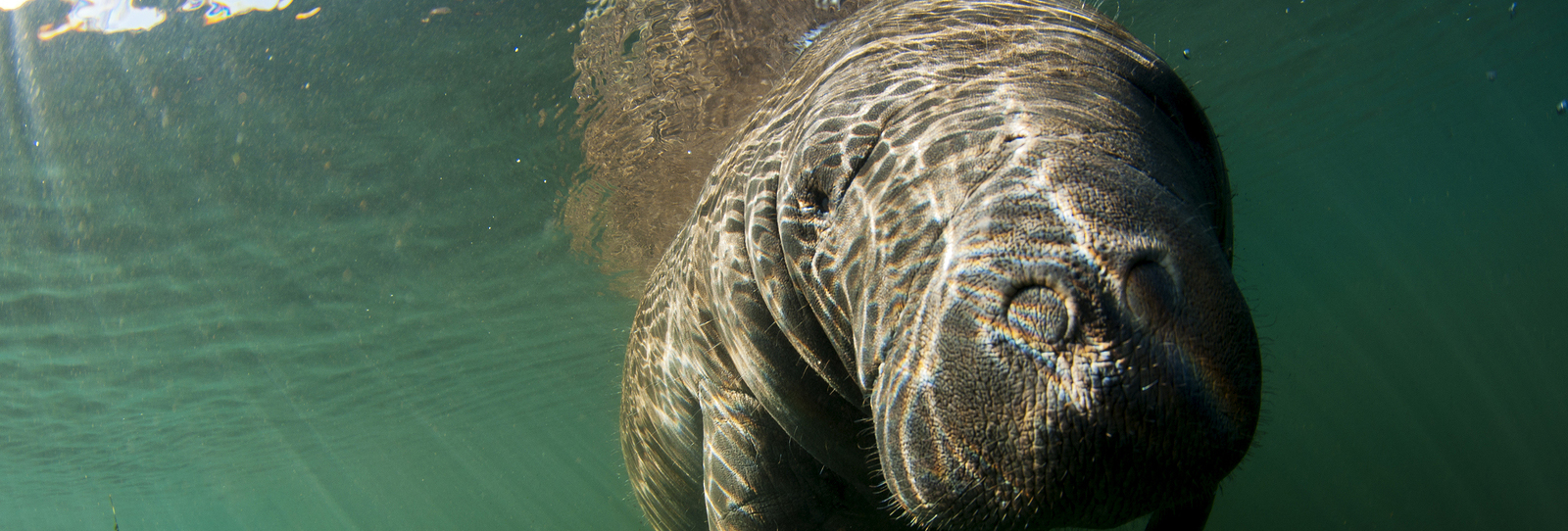 A manatee is photographed head on in Florida's Homosassa river.
